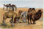 Velblod a beduin