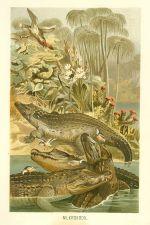 Krokodyl nilsky