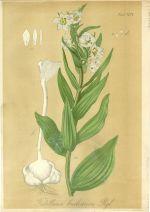 Fritillaria bucharica