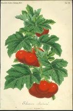 Solanum ciliatum  rajce