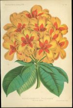 Rhododendron Prince Leopold