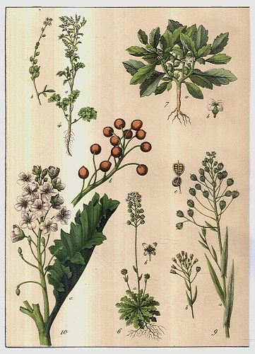 Rostliny lucni kvety travy   antikvariat - detail grafiky