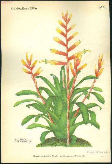 Vrisea  Vrisea psittacina Lindl | antikvariat - detail grafiky