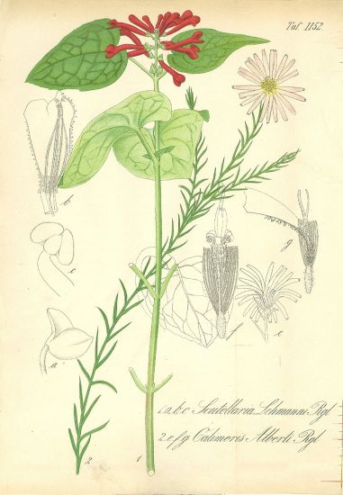 Scutellaria Lehmanni  sisak | antikvariat - detail grafiky