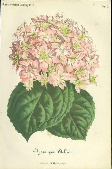 Hydrangea Stellata | antikvariat - detail grafiky