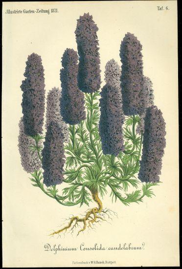 Delphinium  Stracka | antikvariat - detail grafiky