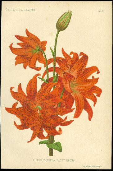 Lilie | antikvariat - detail grafiky