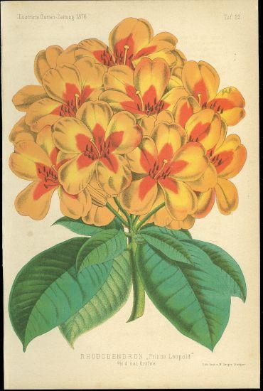 Rhododendron Prince Leopold | antikvariat - detail grafiky